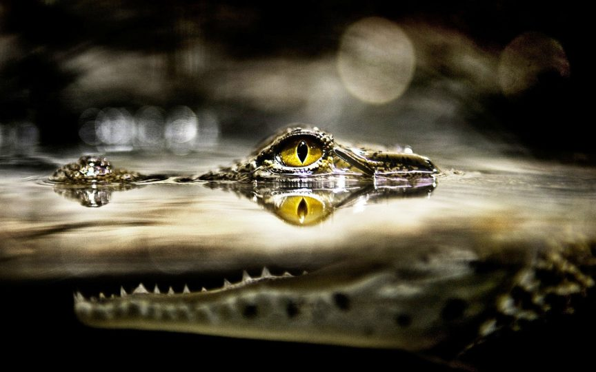 crocodile-in-water
